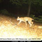 Le Plan Régional d'Actions en faveur du Lynx boréal dans le Massif des Vosges